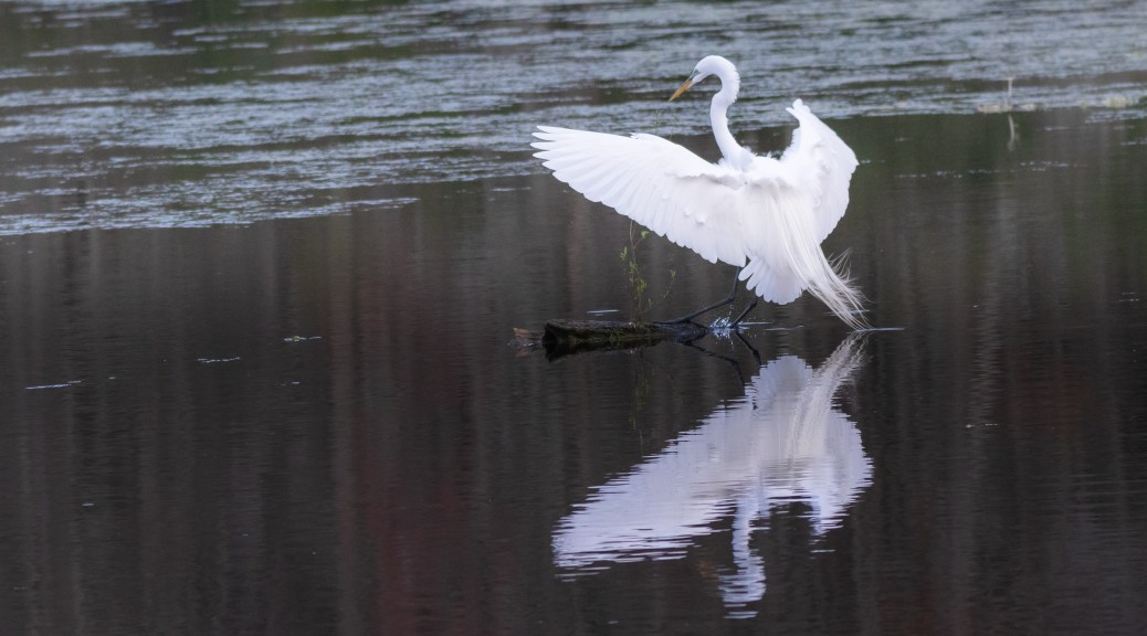 Reflections And Egrets