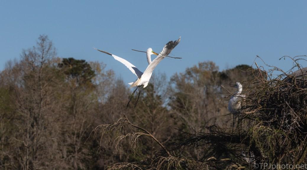 Egrets Building For Anhinga