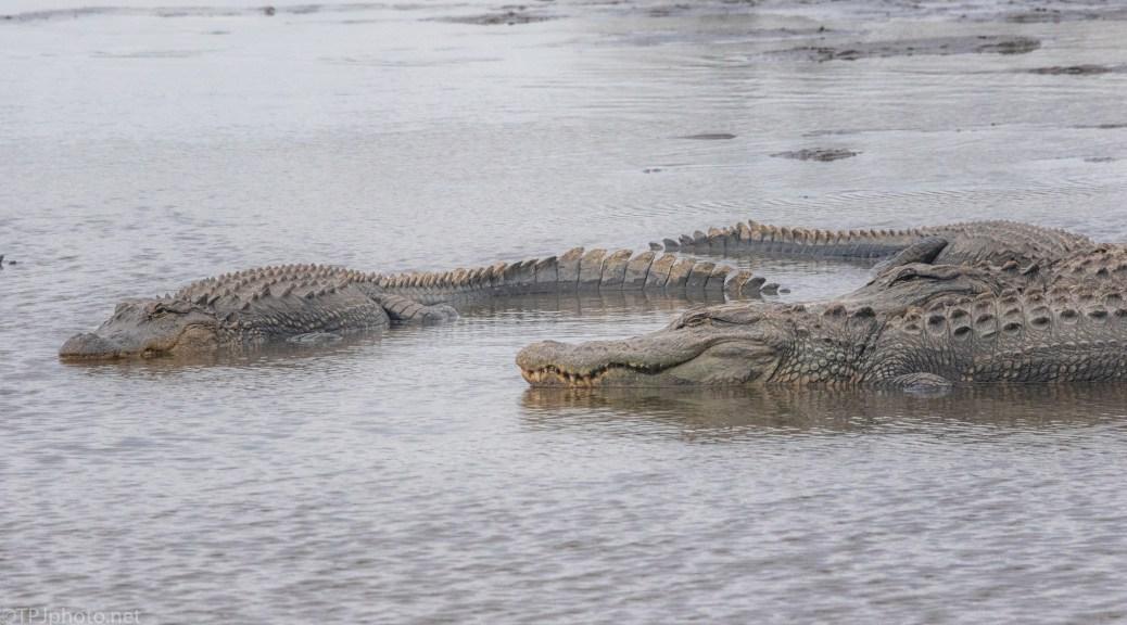 Afternoon Nap, Alligator