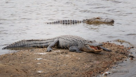 Away From The Crowds, Alligator