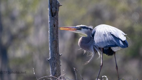 Sharpening Her Bill, Heron
