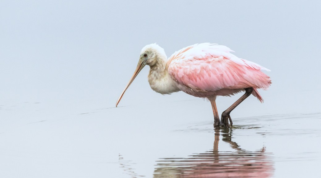 Pink Strolling By, Spoonbill