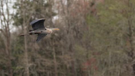 Great Blue Heron, Swamp