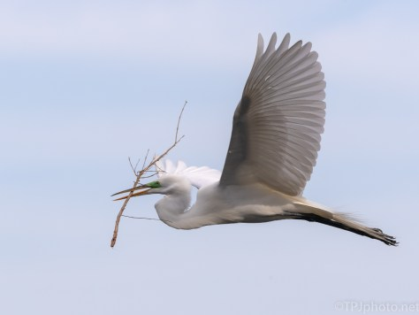 Great Egret Making A Delivery