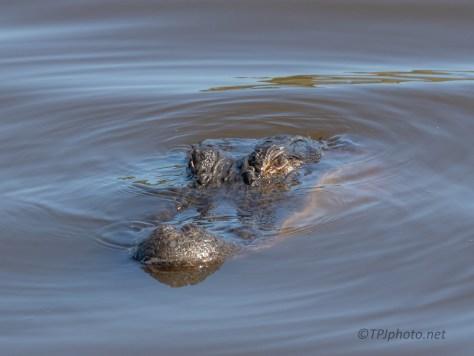 Eye Contact, Alligator