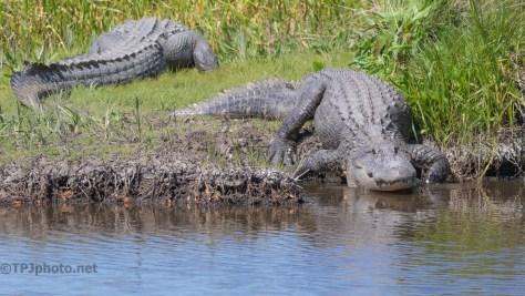 Alligator Mildly Interested