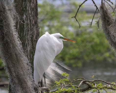 Egret In The Low Branches