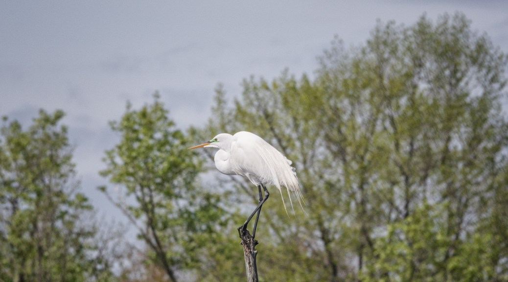 The Lookout, Egret