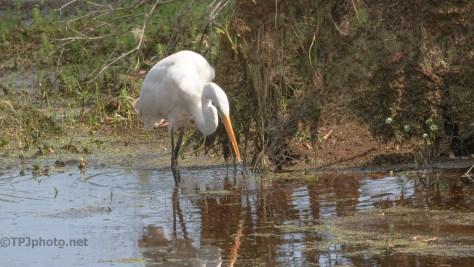 Fishing, Great Egret