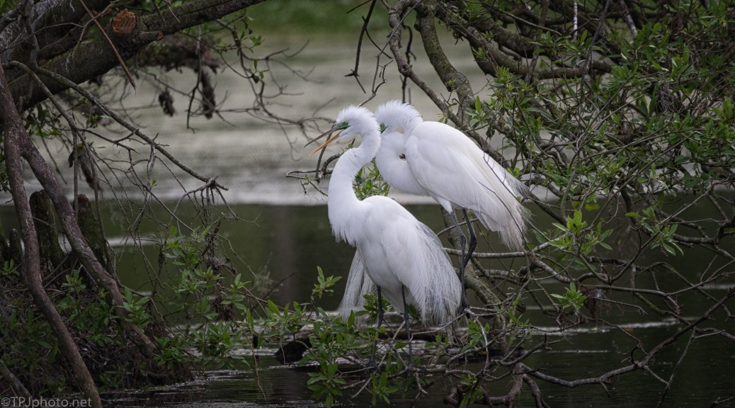 Egrets In Alligator Country