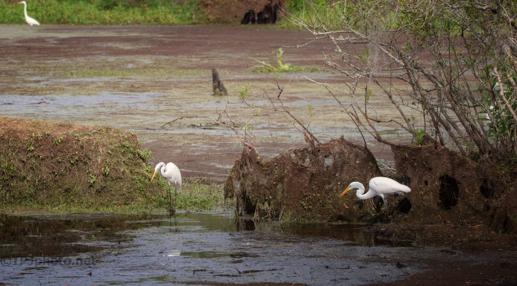 Swamp Scene, Egrets