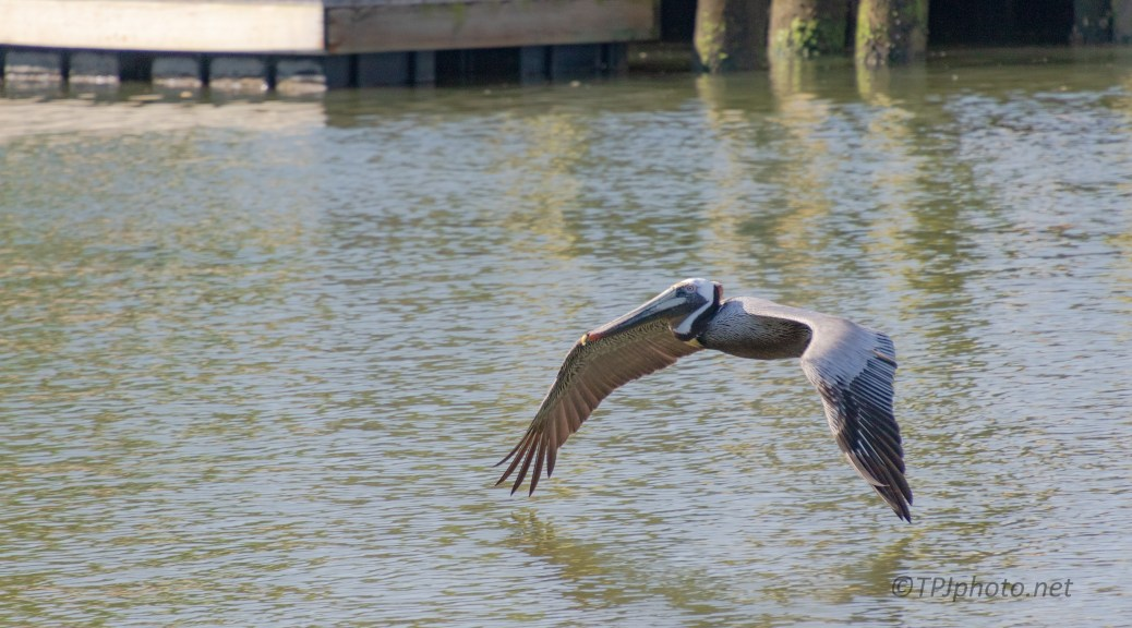 Pelican Riding A Thermal