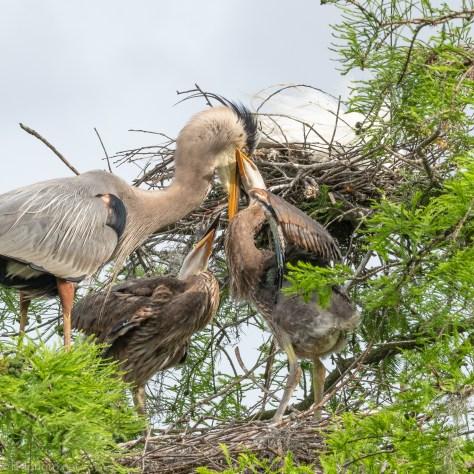 Mom Gets Mugged, Herons