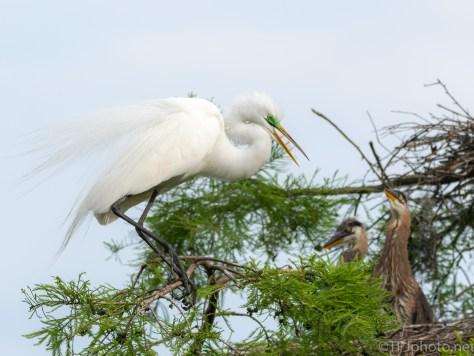 Great Egret, Green Lore