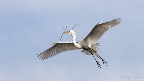 Just A Pretty Bird, Great Egret