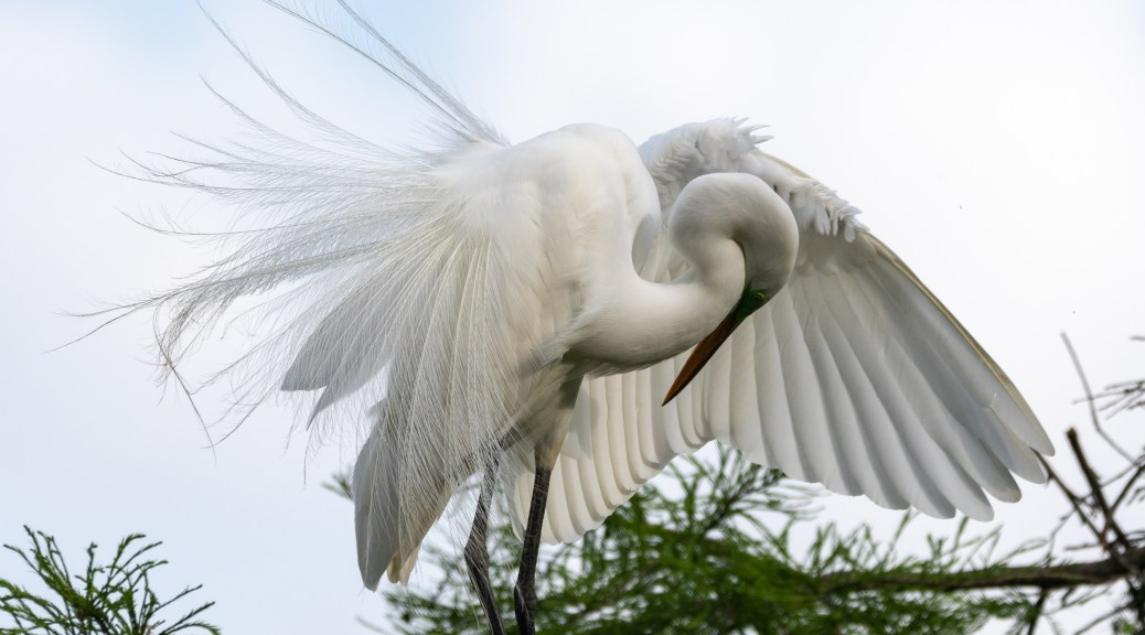 Feathers, Great Egret