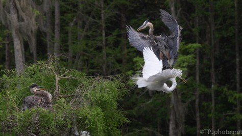 Big Mistake, Mom Was Watching, Egret, Heron