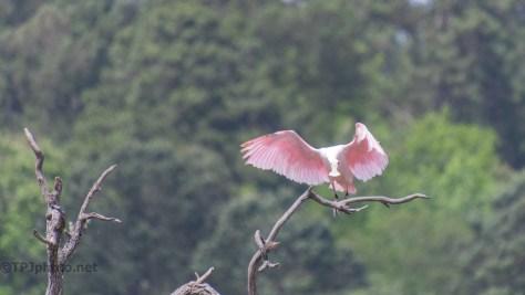 A Graceful Landing, Spoonbill