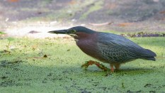 Busy Green Heron