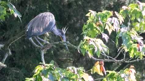 New Meaning To A Bad Hair Day, Tricolored Heron