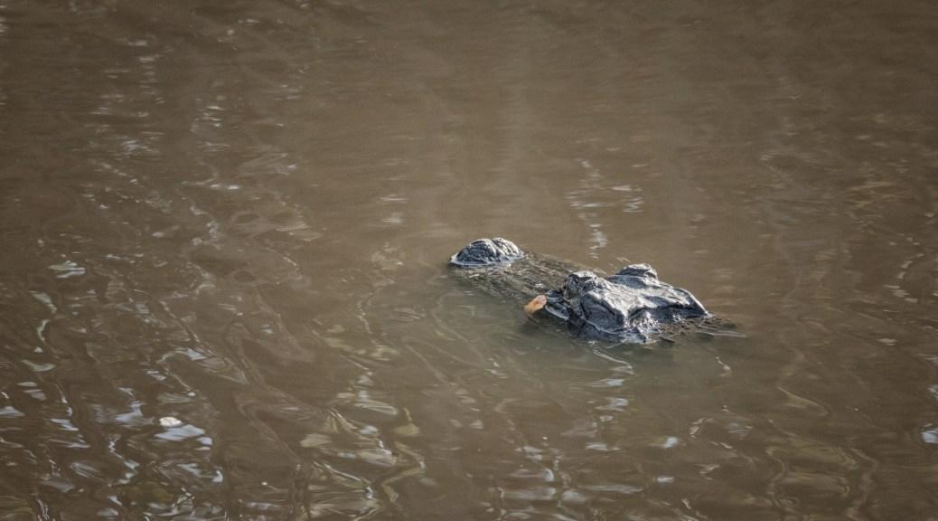 Invisible In Plain Sight, Alligator