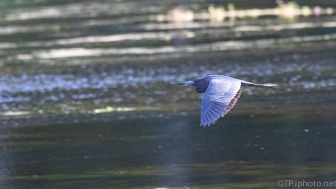 Little Blue Heron, Breeding Colors