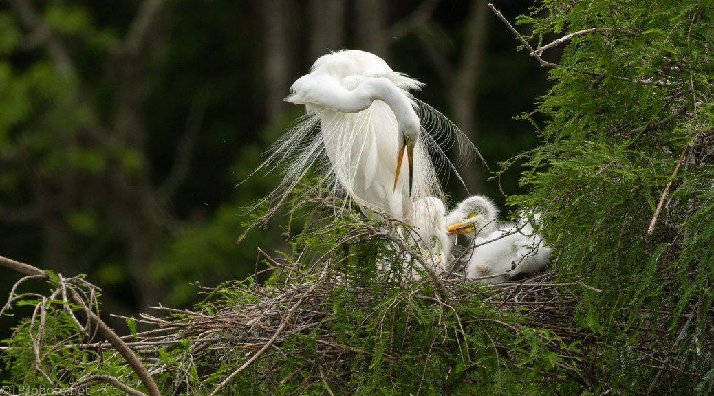 Great Egrets At The Nest