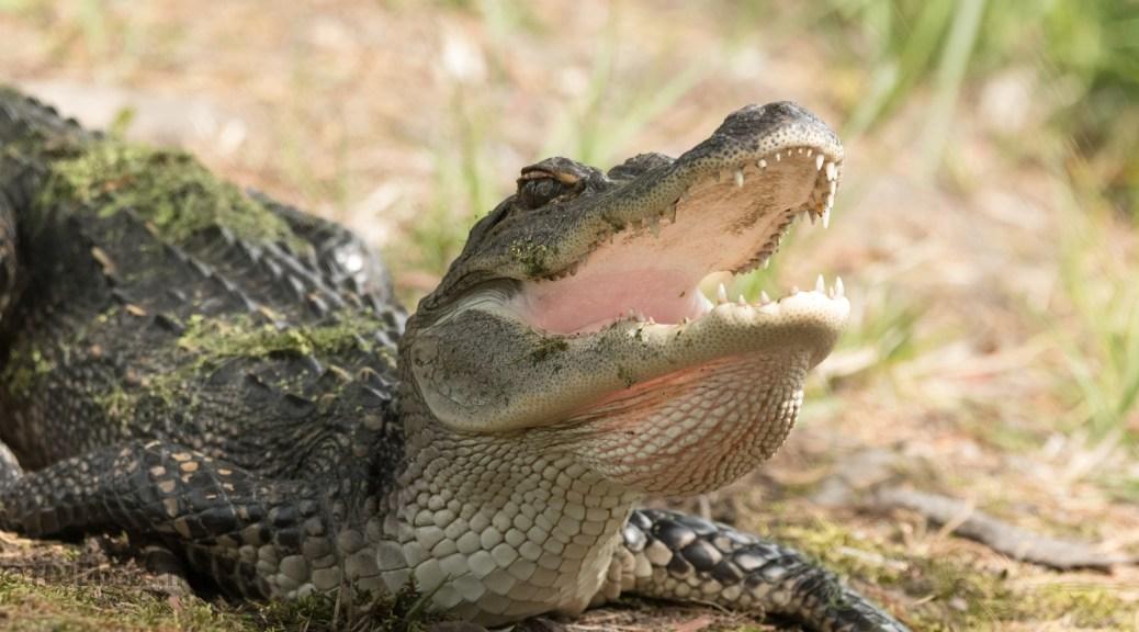Just Watching Me, Alligator