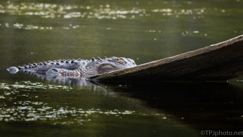 Never Even Tried To Leave The Water, Alligator