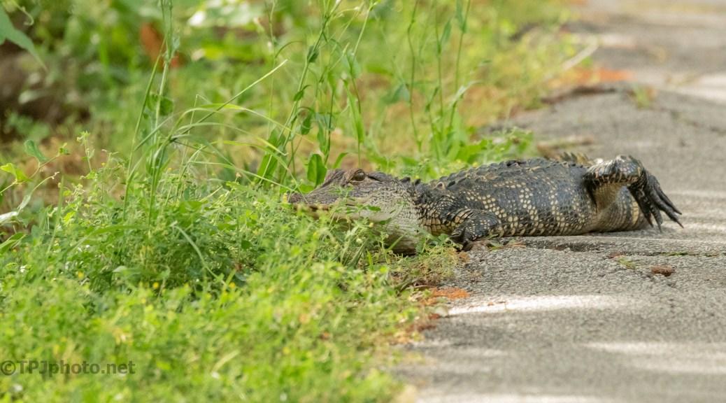 Wrong Way Gator