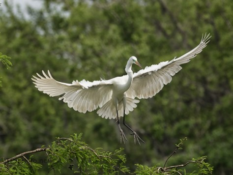 A Dramatic Entrance, Egret