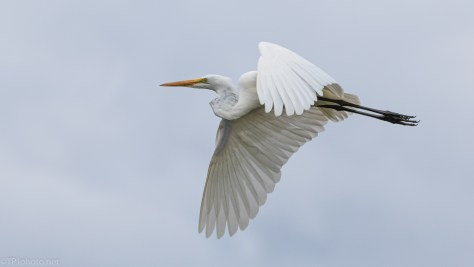 Style And Class, Great Egret