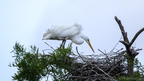 Still Tending The Nest, Egret