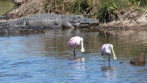 A Few Locals, Spoonbill And Alligator
