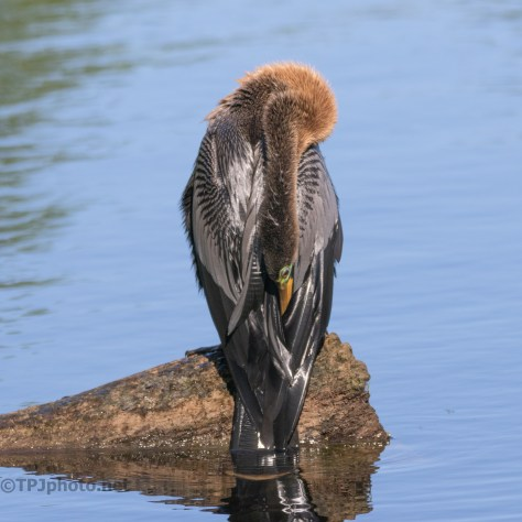 Maybe A Little Too Wet, Anhinga