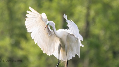 Close Landing, Great Egret