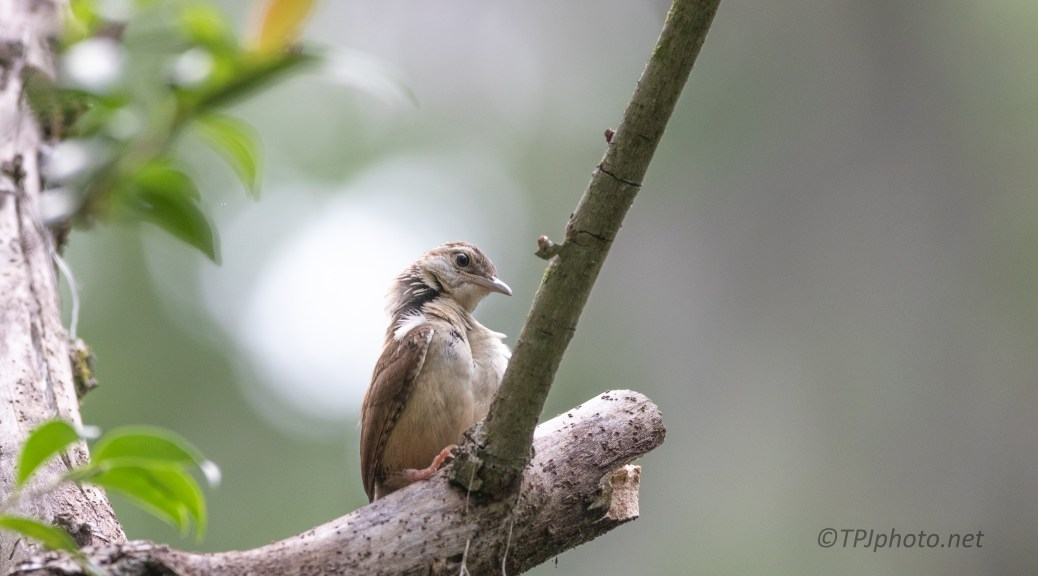 Just Getting Started, Young Carolina Wren