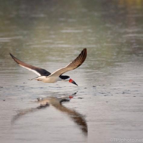 Black Skimmer Fly By