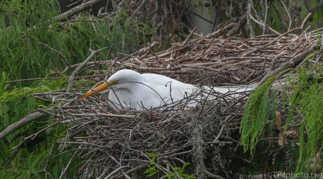 Egret Still Waiting, For Months