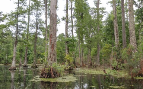 Cypress Swamp In The Rain