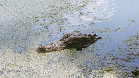 Can't Forget The Locals, Alligator