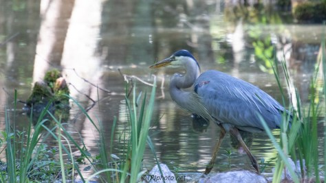 On The Hunt, Great Blue Heron