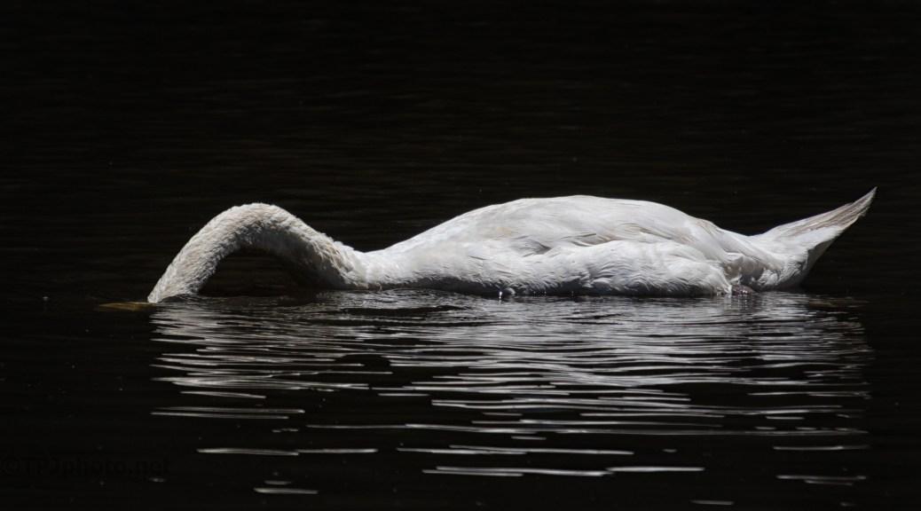 Swan, Metered Light