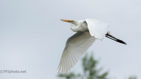 Low And Slow, Great Egret