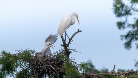Hungry And Demanding, Egret