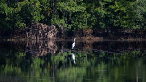 Solitary Great Egret