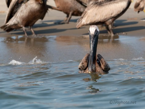 Pelican Posing Like A Model