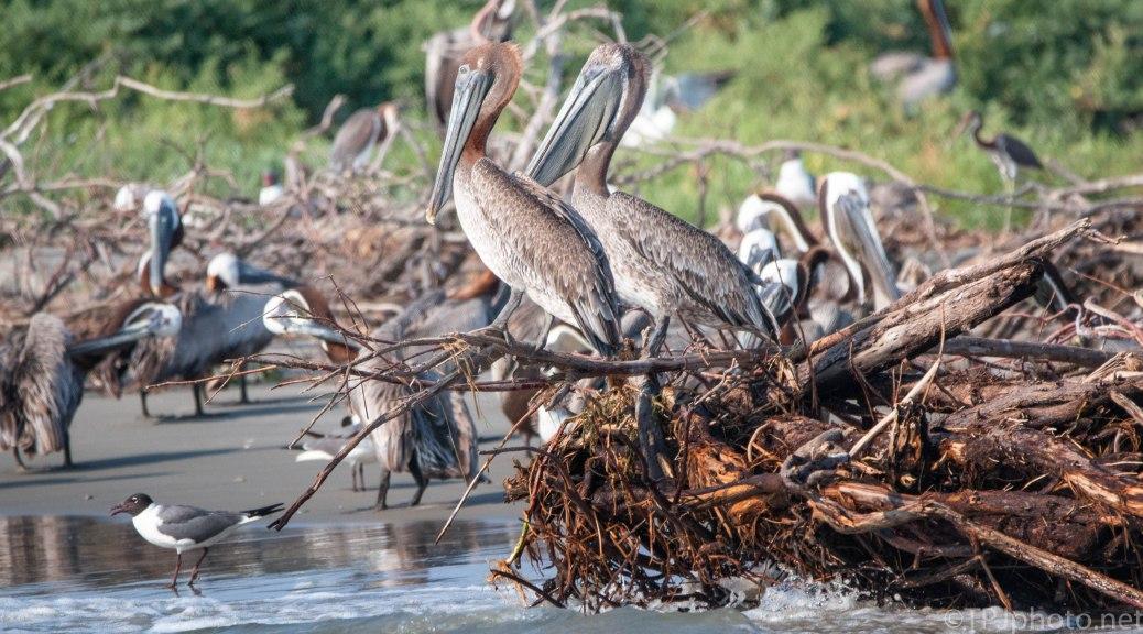 Pelicans, Watching The Craziness