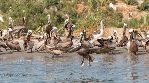 Pelican, In Flight (5)