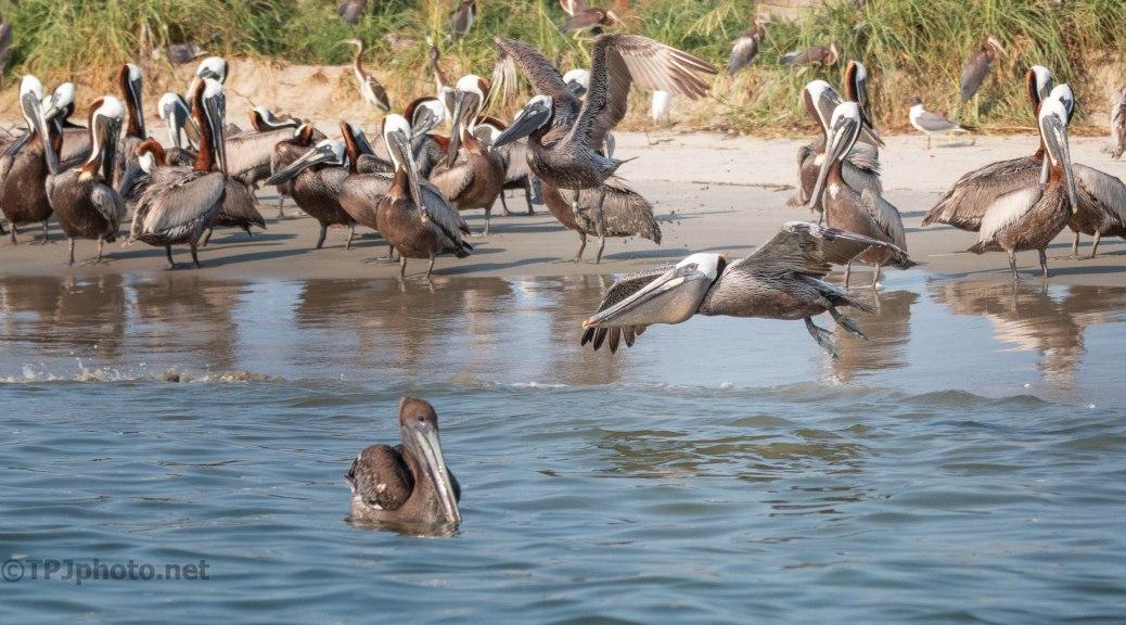 Pelican, In Flight (6)